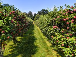 The apples at the farm are almost ready. This dwarf espalier apple orchard is just behind my long carport and flower room. Father Legendre of France is credited with pioneering the espalier growing method in 1684. Because sunlight reaches every piece of fruit that these trees bear, espalier pruning continues to be a standard procedure at commercial orchards in France.