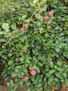 This apple tree sits nearby just outside my blog studio. It is a very old apple tree and original to the farm. The apple tree is a deciduous tree in the rose family best known for its sweet fruit. I have many different varieties growing at my farm – many of them I use for eating, while others are better suited for baking and for making applesauce and cider.