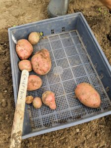 As the potatoes are picked, they're placed into shallow trays, separated by variety and color. An entire potato plant grows from just one potato eye, although when planting, always plant a piece of potato with at least two eyes to ensure germination. These are 'Chieftain' potatoes - a smooth red-skinned slightly oval tuber with shallow eyes and white flesh with very good flavor.