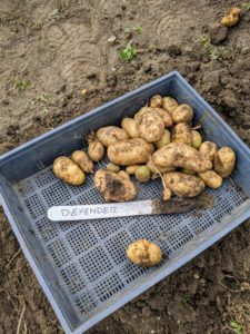 One of our best producers is 'Defender' - we grow this variety every year. The potato is oblong with white flesh. It is great for frying and is excellent as a fresh market baker.
