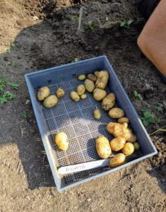This tray is filling quickly with 'Agata' potatoes - beautiful yellow skin and yellow flesh and a creamy flavorful texture when roasted, baked or boiled.