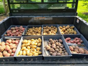All the crates of potatoes are ready to go up to my flower room, where they will be stored until ready to cook. Ideally, potatoes should be kept in an environment around 45-50 degrees Fahrenheit. They can be stored in bins, boxes, or even paper bags – just nothing airtight to prevent rotting. And, don't store with apples – the ethylene gas will cause the potatoes to spoil. In addition, they should never be stored in the refrigerator. We have so many potatoes with even more still in the ground – I can't wait to try them all.