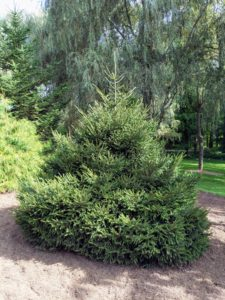 Picea orientalis 'Nigra Compacta' or oriental spruce is a medium to large, densely branched evergreen. Its needles are flattened and glossy dark green and are shorter than the needles of other spruce species.