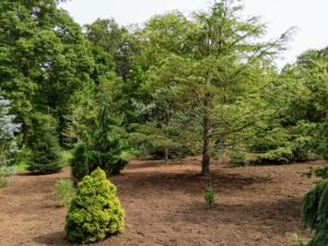 Look how lush the space is after a fresh layer of mulch. The tree on the right is a larch. I have planted many larch trees here at the farm. These trees are conifers in the genus Larix, of the family Pinaceae. Growing up to 100-feet tall and more, they are native to much of the cooler temperate northern hemisphere, on lowlands in the north and high on mountains further south.