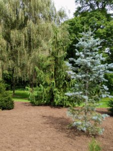 On the right is Abies concolor, commonly known as the white fir. This specimen adds great contrast next to all the other evergreens. It is a narrow conical conifer with a straight trunk, spire-like crown and branching all the way to the base. And in the very back, the grand weeping willows.