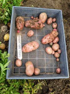 'Dark Red Norland' potatoes have red skin with shallow eyes and white flesh. It makes excellent potato salad and stores well.