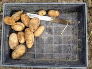 And here's another favorite - 'Butte'. They're oblong with white flesh and russeted skin. This variety is noted for having 20-percent higher protein content than most potatoes. It's also very high in Vitamin C.
