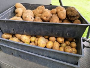 Ryan and Gavin harvested two rows of potatoes, and the last row will be harvested later as needed.