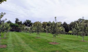 My large orchard is full of developing fruits - right now there are many apples. This orchard surrounds three sides of my pool. We planted more than 200-fruit trees in this area.