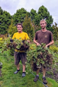 Lady's Mantle is easy to transplant. Ryan and Gavin carefully unload the plants - many are clumped together. Lady's Mantle plants form nice sized clumps, although they will also self-seed.