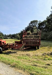 If the hay is properly dried, the baler will work continuously down each row. Hay that is too damp tends to clog up the baler - but so far, so good.