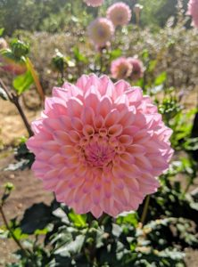 This is Dahlia 'Castle Drive'. It has a soft blend of pink and yellow and is great in arrangements and gardens. This plant is also very attractive to bees and butterflies.