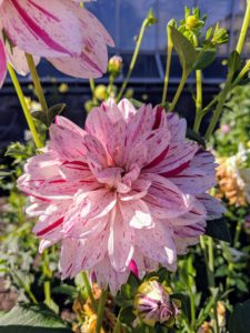 And 'Bright Diamond' has large, white flowers with dark red streaks throughout. These blooms reach two to three inches in diameter.