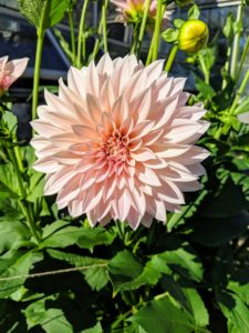 Among the most popular varieties is 'Cafe Au Lait'. This late summer bloomer grows up to 48-inches tall with 10-inch flowers. Many dahlia varieties grow tall and cannot support themselves when they reach maturity. Be sure to stake them once they grow above a foot high.