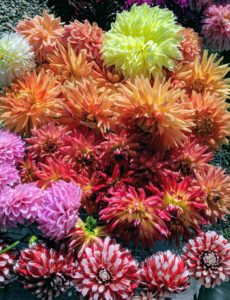 Look at all the colorful dahlias just cut from my garden - white to orange to pink in a variety of sizes and forms.