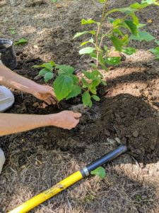 Witch hazels are exceptionally hardy and adaptable shrubs and require little care or maintenance once established. Here, Gavin sprinkles a generous amount of fertilizer.
