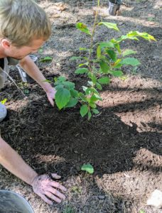 Lastly, Gavin tamps down the soil surrounding the plant after it is in the ground – this ensures good contact between the soil and the plant itself.