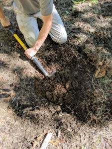 Gavin starts by digging the hole. Witch hazels have shallow, slow-growing root systems, which do best in large planting areas to ensure normal growth and development. Fortunately, I have a lot of room to grow these pretty shrubs. I also have many, many daffodil bulbs here, so Gavin is very careful when digging. Most of the bulbs will be much deeper in the soil and will be left undisturbed.