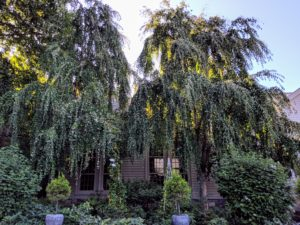 As they walked up the driveway toward my kitchen they saw the weeping katsuras which have grown so much over the years.