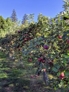 They also saw the dwarf apple espalier - filled with so many fruits. We have many, many apples this year - I've already tasted quite a few from my trees and they are so very sweet and juicy.