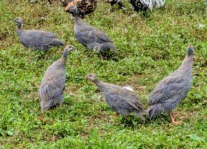 Guinea fowl eat all the time, snacking on insects. They will also eat fresh greens and corn. And always ensure they get lots of fresh water.