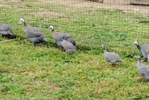 Here are the keets next to the older Guineas - there is still much growing to do. Most species of Guinea fowl have dark gray or blackish plumage with dense white spots. These helmeted Guinea fowl are the most common and most popular type of domesticated Guinea birds.