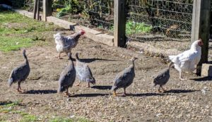 Following them around can be challenging - they move so quickly from one enclosure to another. Guineas are highly social with their own kind; where one goes, they all go. If one gets lost it will call out until the flock comes to find it.