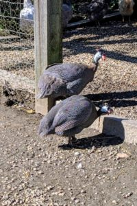 Guinea fowl are also monogamous and mate for life in the wild.