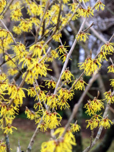 These plants perform best in full sun, or filtered shade in hotter regions. They prefer well-amended soil and regular water and are tolerant of acid or alkaline conditions. Hamamelis mollis, or Chinese witch hazel, is the most fragrant of all the species. Chinese witch hazel begins blooming as early as January and has buttery yellow petals and clear yellow fall foliage.