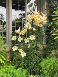 Some lilies can be quite tall – some grow in height up to six feet.