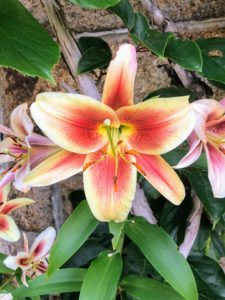 Here is a closeup of one of the colorful lily blooms.