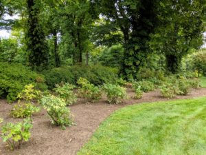 This is my tree peony bed located up the carriage road near my Summer House. I decided to remove all the Lady's Mantle from this area and move them to the Tenant House garden - I am always thinking about how I can improve my beds. This bed now has more room for tree peonies.