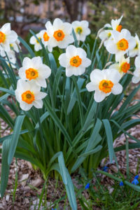 'Barrett Browning' daffodils have white petals and orange cups, which turn yellow as the flowers mature. (Photo courtesy of Colorblends Wholesale Flower Bulbs)