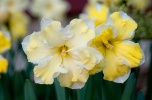 These are 'Cassata' daffodil bulbs. Cassata is a showy daffodil that's perfect for the border and looks great in broad sweeps. (Photo courtesy of Colorblends Wholesale Flower Bulbs)