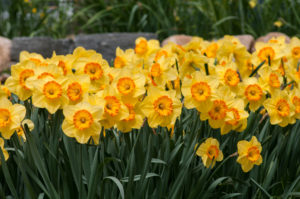 'Delibes' are beautiful primrose-yellow flowers with large, shallow cups that shades to orange at the mouth. (Photo courtesy of Colorblends Wholesale Flower Bulbs)