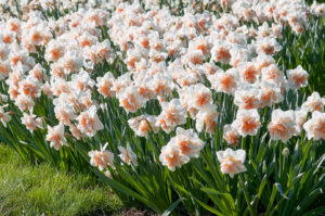 And this variety is called 'Delnashaugh.' These are double creamy white blooms with fluffy peach-pink segments. (Photo courtesy of Colorblends Wholesale Flower Bulbs)