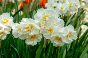This variety is called 'Sir Winston Churchhill.' Each stem bears clusters of three to five white flowers with flecks of orange in the middle. The scent is fresh and sweet. (Photo courtesy of Colorblends Wholesale Flower Bulbs)