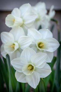 This daffodil is called 'Snowboard' - clean, understated, and elegant. It has blizzard-white flowers with a flawless funnel-shaped cup. (Photo courtesy of Colorblends Wholesale Flower Bulbs)