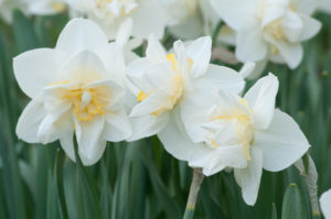 'White Lion' has white petals interspersed with crepe-like ribbons of soft yellow. (Photo courtesy of Colorblends Wholesale Flower Bulbs)