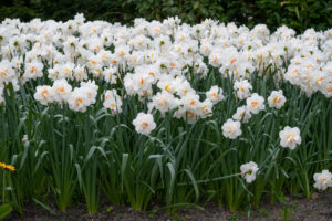 Among those we planted include 'Acropolis,' -glistening white flowers with orange-red segments in the center. They are carried well above the foliage for easy viewing and look lovely in the garden and in a vase. (Photo courtesy of Colorblends Wholesale Flower Bulbs)