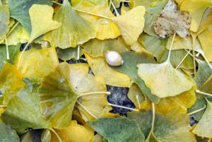 Soon, all the Ginkgo bilobas will turn an amazing golden-yellow and then all at once, after the hard frost, they will drop their leaves – it's another complex phenomenon of nature.