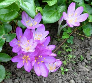 Because Colchicums are toxic, they provide a natural way to repel animals such as deer, mice, squirrels, and moles.