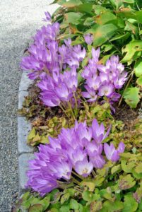 Colchicum is a good pollen source for bees in fall when little else is available for them.