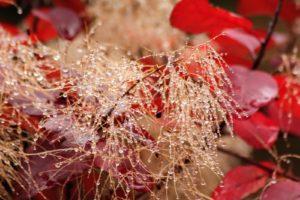 Cheryl took this closeup photo of one of the smoke bush's billowy clusters covered with water droplets after a rainstorm.