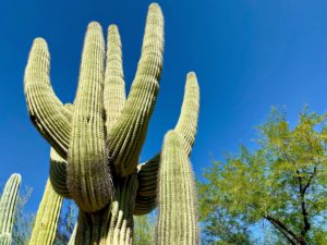 Here is a closer look at the Saguaro. These plants often develop branches, or arms, as they age. The arms generally bend upward and can number over 25. Saguaros are covered with protective spines, white flowers in the late spring, and red fruit in summer.