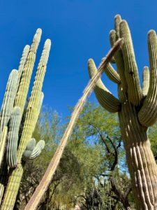 Here are three different cacti - Pachycereus pringlei or Cardon Cactus, Lophocereus schotti or Senita Cactus, and the Carnegia gigantea, the Saguaro Cactus.