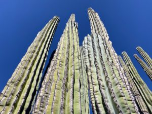 Pachycereus pringlei, Cardon Cactus, also known as Mexican giant cardon or elephant cactus, is the tallest cactus in the world native to northwestern Mexico in the states of Baja California, Baja California Sur, and Sonora. It's part of the columnar cacti family which also includes the giant Saguaro.