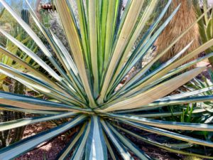 Agave sisalana 'variegata', or Sisal Agave, is a medium sized widely suckering agave that grows up to six feet feet tall by seven feet wide with long stiff narrow white to very pale green leaves armed at the tip with a one inch terminal spines.