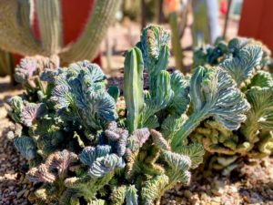 Myrtillocactus geometrizans is a species of cactus in the genus Myrtillocactus, native to central and northern Mexico. It is a blue grey candelabra like cactus of bearing a small sweet, edible berrylike fruit. It is also known as Blue Candle, Whortleberry Cactus, and Garambulla cactus.