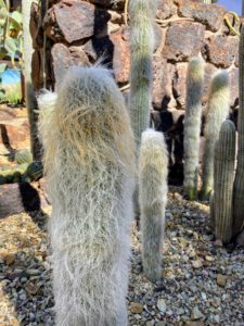 This is Cephalocereus senilis, or Old Man Cactus. It has fluffy white tufts of hair over the surface of the cactus body. The long hair is used to keep itself cool in its natural habitat. As an outdoor plant, these can grow to 45 feet tall, but are generally slow growing as potted specimens.